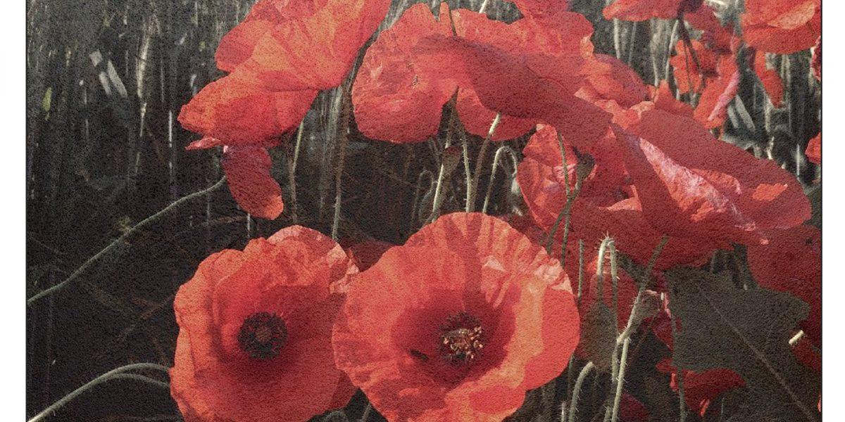 16 Poppies